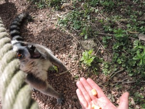Les lémuriens, dans le top 3 de Poupette :-)
